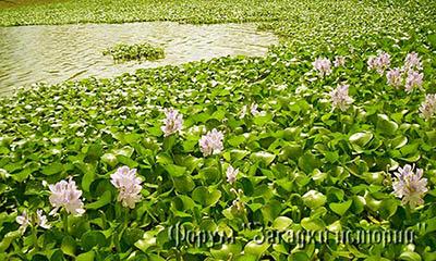 Водный гиацинт. Безобидный цветок чуть не погубил американские реки